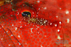 a painted cleaner shrimp dances over a rock cod's eye. ti... by Fiona Ayerst 